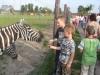 Dwóch chłopców dokarmia zebrę